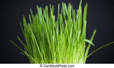 fresh juicy green grass isolated on black background