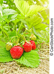 Fresh juicy shrub of strawberry with green leaves