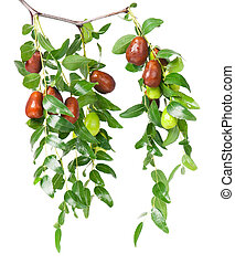Fresh jujube fruit on branch with leaves isolated on white...