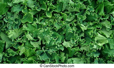 Fresh Kale Vegetable Rotating - Overhead shot of fresh kale...