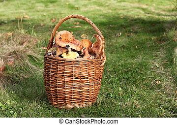 Fresh Lactarius deliciosus - also as the saffron milk cap and red pine mushroom, in basket