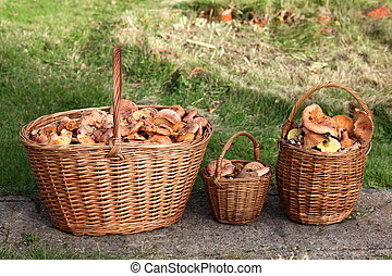 Fresh Lactarius deliciosus - also as the saffron milk cap and red pine mushroom, in basket