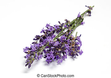 Fresh Lavender blossoms - Bunch of fresh Lavender