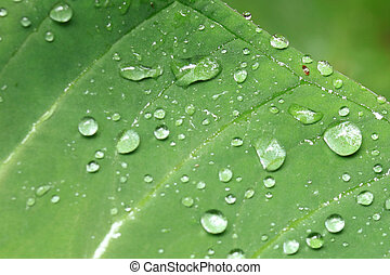 Fresh Leaf - Bigodi Swamps - Uganda - Fresh Leaf - Bigodi...
