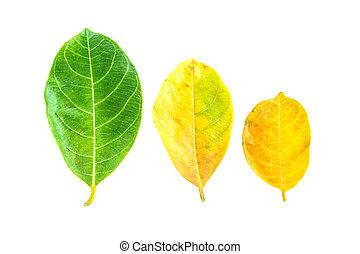 Fresh leaf isolated on a white background