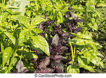 Fresh leaves of green and purple Basil growing in the garden