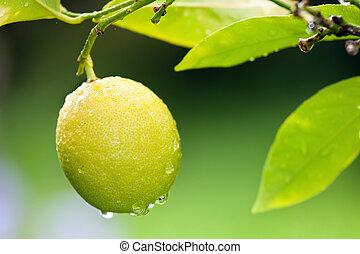 fresh lemon on tree