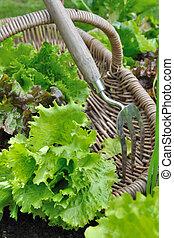 fresh lettuce in basket