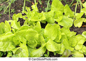 Fresh lettuce in the garden