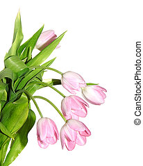 fresh light red tulips with green leaf on a white background