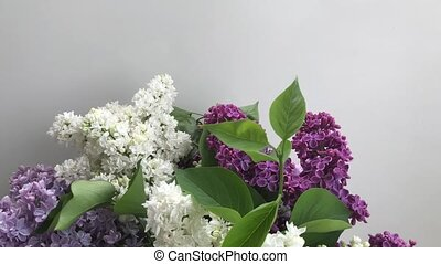 Fresh lilac flowers - Showing fresh lilac flowers on white...