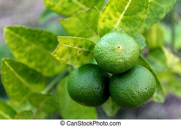 Fresh limes on lime tree