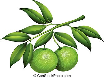 Fresh limes on the branch