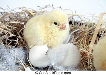 yellow chick
