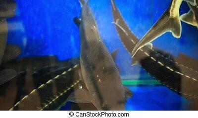 Fresh live fish at the aquarium at seafood restaurant. HD. 1920x1080