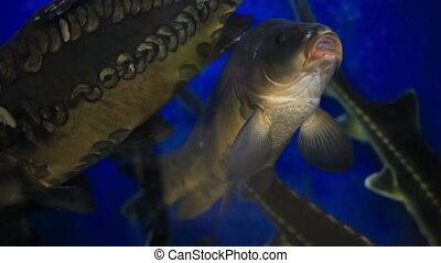 Fresh live fish at the aquarium at seafood restaurant. -...