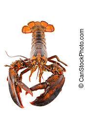 Fresh Live Lobster - Fresh live lobster
