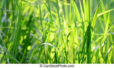 Fresh lush blades of green grass blown by wind in sunshine