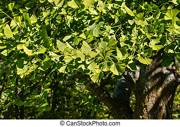 fresh maidenhair tree leaves in springtime