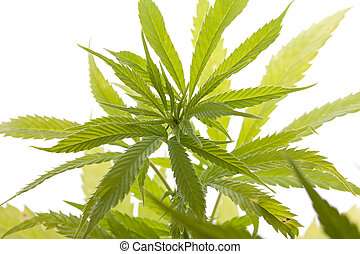 cannabiol images and stock photos 133 cannabiol photography and