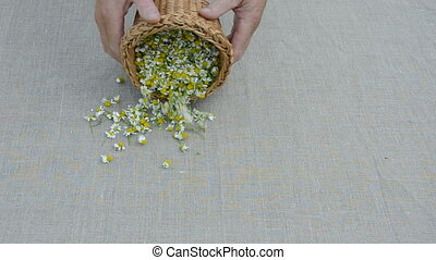chamomile blossoms on linen cloth - fresh medical chamomile...