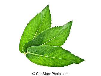 Fresh melissa leaves isolated on a white background