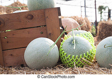 Fresh melons in wooden box and on straw in organic farm