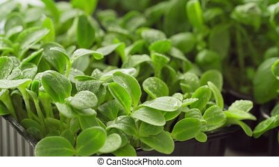 Fresh microgreen sprouts close up focus shift. High quality 4k footage