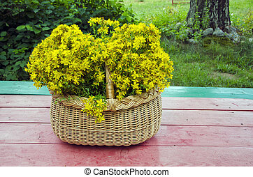 fresh midsummer St. John's wort in  basket on  wooden table