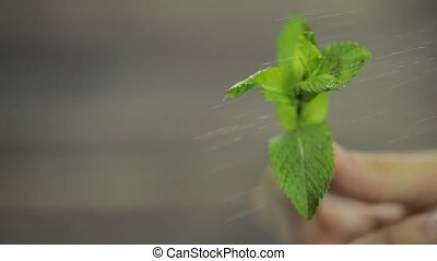 Fresh mint in hand on wooden background.