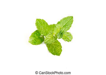 Fresh Mint isolated on white background. Mentha rotundifolia...