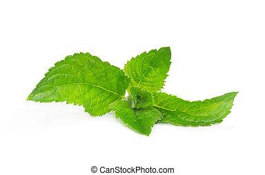 Fresh mint or mint leaves - Fresh aromatic mentha or mint...