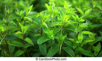 Fresh green scented mint sways with a light blow of the wind. Organic peppermint cultivation.