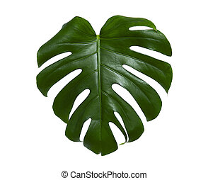 Fresh monstera leaf isolated on white