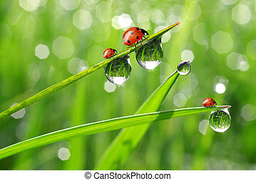 fresh morning dew and ladybird - fresh morning dew and...