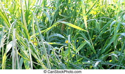Fresh morning dew on  grass