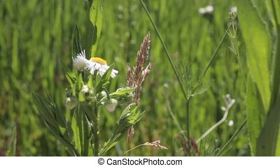 Fresh natural solitary chamomile flower in a summer sunny...