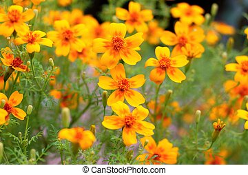 Fresh natural yellow flowers of marigolds