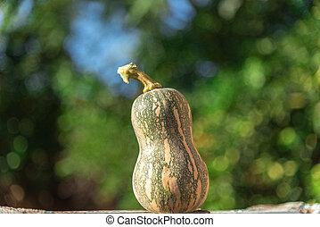 Fresh necked pumpkin (Cucurbita moschata) on natural outdoor background