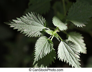 fresh nettle as background