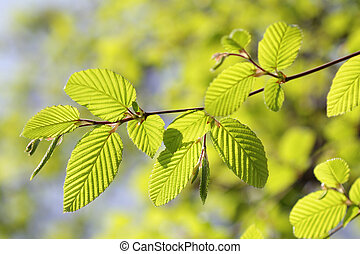 Fresh new leaves in springtime season