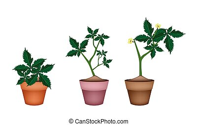 Fresh Okra Plant in Ceramic Flower Pots - Vegetable and Herb...