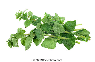 fresh oregano herb isolated on a white background