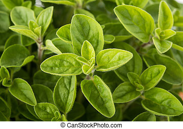 Oregano - Fresh Oregano (origanum vulgare) plants background