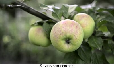 apples ripening on branch - fresh organic apples ripening on...