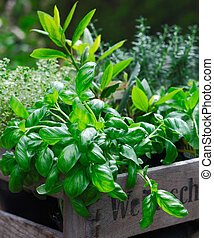 Fresh organic basil growing in a rustic wooden crate ...