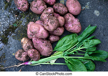 Fresh organic home grown vegetables. Produce harvested from vegetable patch, potatoes and spinach