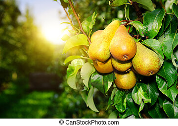Fresh organic pears on tree branch