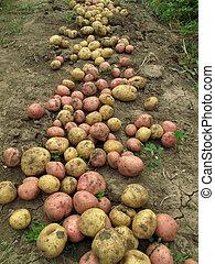 Fresh organic potatoes on the ground - Close up of fresh...