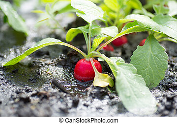 fresh organic red radish with leaves growing